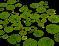 Earth Day Lily Pads