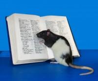 Rat reading