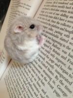 hamster reading