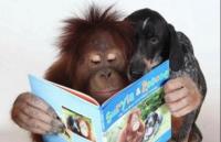 orangutan reading
